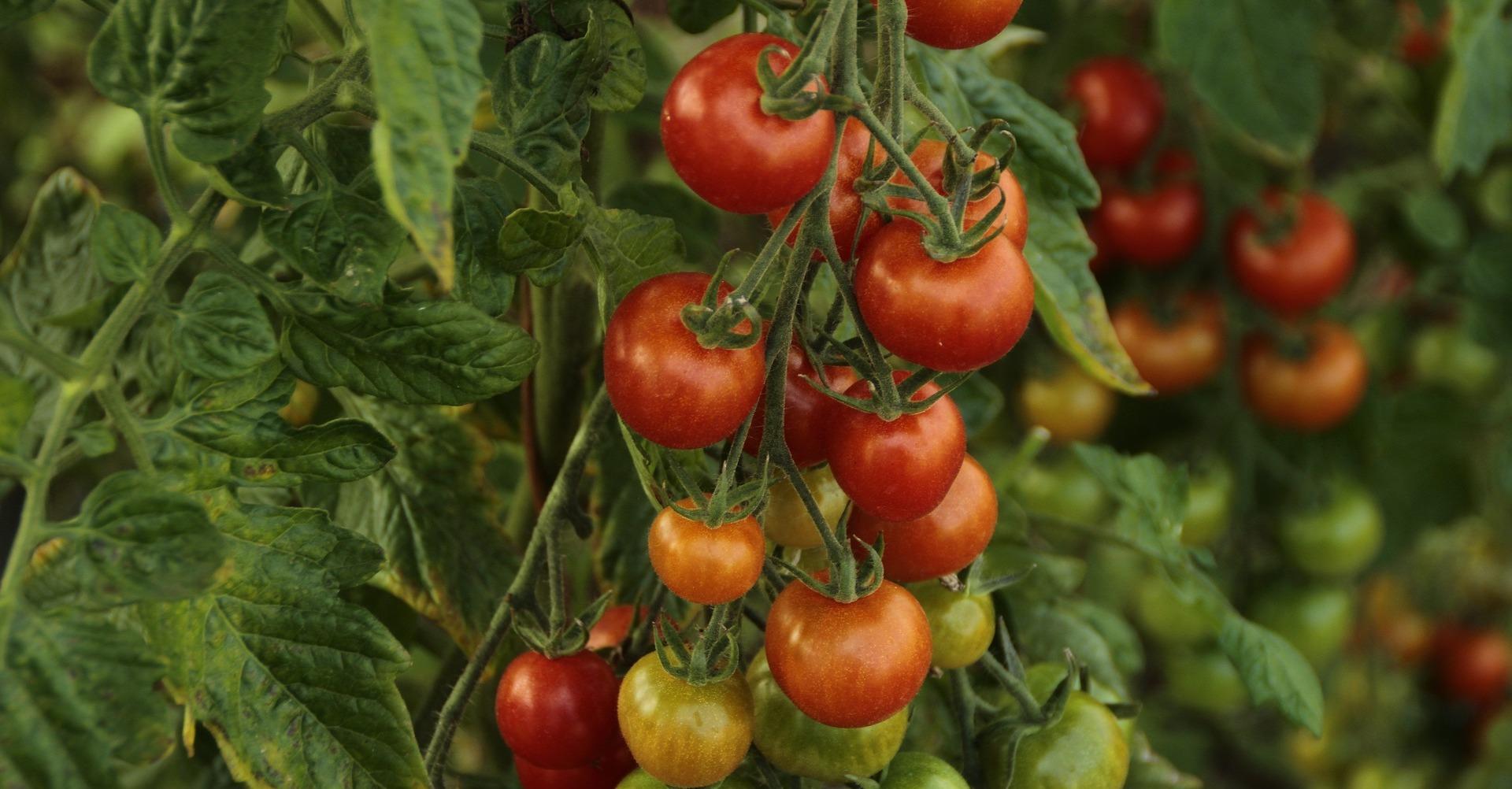 tomat plante